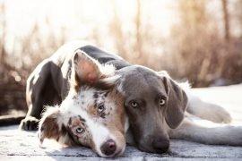 will cbd affect my dog's medication